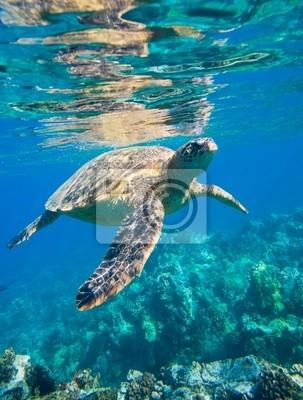 Постер Подводный мир Зеленая морская черепаха плывет в океане море, 20x26 см, на бумагеЧерепахи<br>Постер на холсте или бумаге. Любого нужного вам размера. В раме или без. Подвес в комплекте. Трехслойная надежная упаковка. Доставим в любую точку России. Вам осталось только повесить картину на стену!<br>