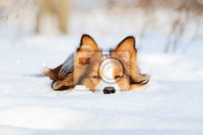 Бордер-колли молодые собаки играют в зимний период, 30x20 см, на бумагеСобаки<br>Постер на холсте или бумаге. Любого нужного вам размера. В раме или без. Подвес в комплекте. Трехслойная надежная упаковка. Доставим в любую точку России. Вам осталось только повесить картину на стену!<br>