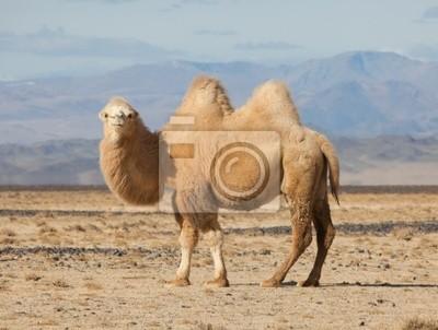 Постер Монголия Бактрийских верблюдов в степях МонголииМонголия<br>Постер на холсте или бумаге. Любого нужного вам размера. В раме или без. Подвес в комплекте. Трехслойная надежная упаковка. Доставим в любую точку России. Вам осталось только повесить картину на стену!<br>