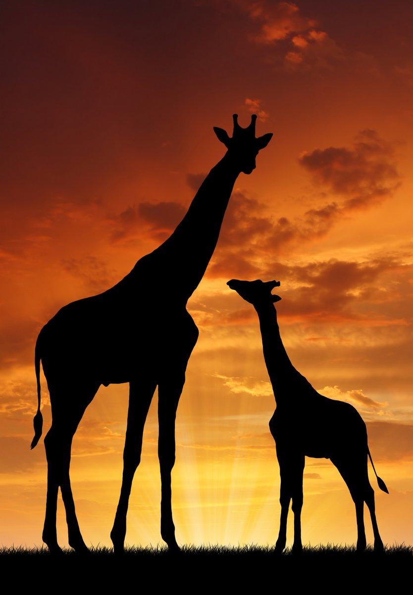 Постер Жирафы Два жирафа в закатЖирафы<br>Постер на холсте или бумаге. Любого нужного вам размера. В раме или без. Подвес в комплекте. Трехслойная надежная упаковка. Доставим в любую точку России. Вам осталось только повесить картину на стену!<br>