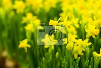 Постер Нарциссы Клумбу с желтыми небольшие нарциссы весной.Нарциссы<br>Постер на холсте или бумаге. Любого нужного вам размера. В раме или без. Подвес в комплекте. Трехслойная надежная упаковка. Доставим в любую точку России. Вам осталось только повесить картину на стену!<br>