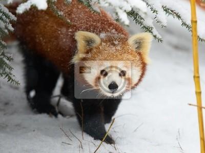 Красная панда в снегу, 27x20 см, на бумагеПанда<br>Постер на холсте или бумаге. Любого нужного вам размера. В раме или без. Подвес в комплекте. Трехслойная надежная упаковка. Доставим в любую точку России. Вам осталось только повесить картину на стену!<br>