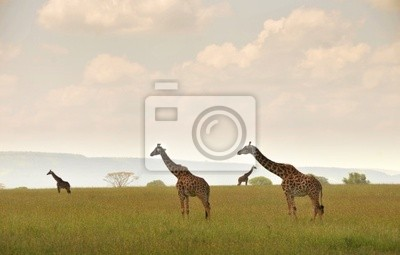 Постер Животные Дикие жирафов в alandscape, 31x20 см, на бумагеЖирафы<br>Постер на холсте или бумаге. Любого нужного вам размера. В раме или без. Подвес в комплекте. Трехслойная надежная упаковка. Доставим в любую точку России. Вам осталось только повесить картину на стену!<br>