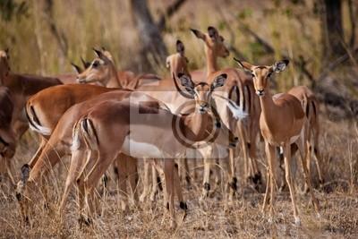 Самка антилопы Импала, Kruger National Park, Южная Африка, 30x20 см, на бумагеАнтилопы<br>Постер на холсте или бумаге. Любого нужного вам размера. В раме или без. Подвес в комплекте. Трехслойная надежная упаковка. Доставим в любую точку России. Вам осталось только повесить картину на стену!<br>