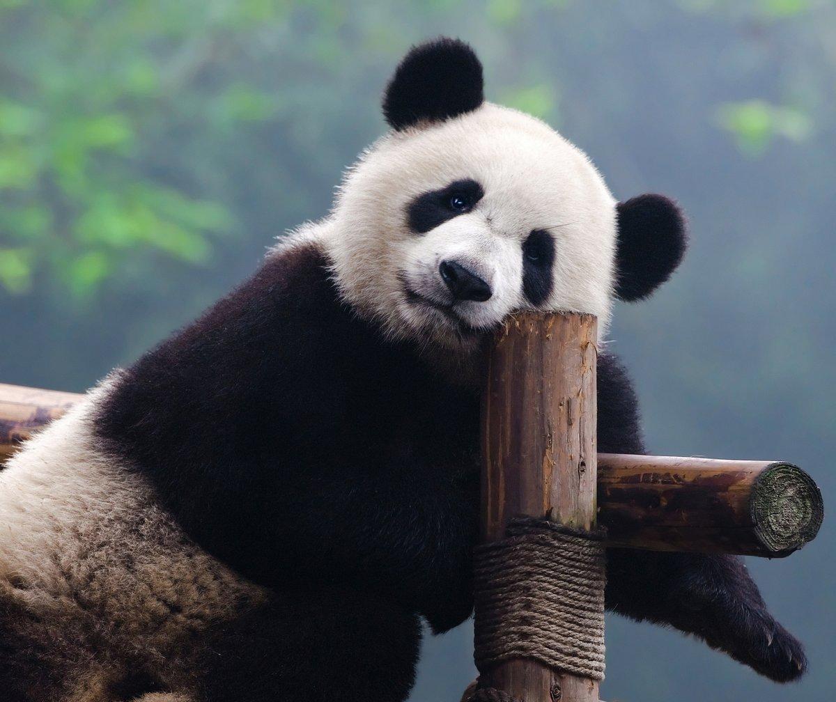 Гигантский медведь панда, глядя на камеру, 24x20 см, на бумагеКитай<br>Постер на холсте или бумаге. Любого нужного вам размера. В раме или без. Подвес в комплекте. Трехслойная надежная упаковка. Доставим в любую точку России. Вам осталось только повесить картину на стену!<br>