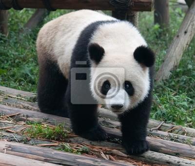 Ходьба гигантские панды, 24x20 см, на бумагеПанда<br>Постер на холсте или бумаге. Любого нужного вам размера. В раме или без. Подвес в комплекте. Трехслойная надежная упаковка. Доставим в любую точку России. Вам осталось только повесить картину на стену!<br>