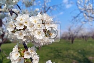 Постер Сакура Ряды красиво цветущих вишневых деревьев на зеленой лужайкеСакура<br>Постер на холсте или бумаге. Любого нужного вам размера. В раме или без. Подвес в комплекте. Трехслойная надежная упаковка. Доставим в любую точку России. Вам осталось только повесить картину на стену!<br>