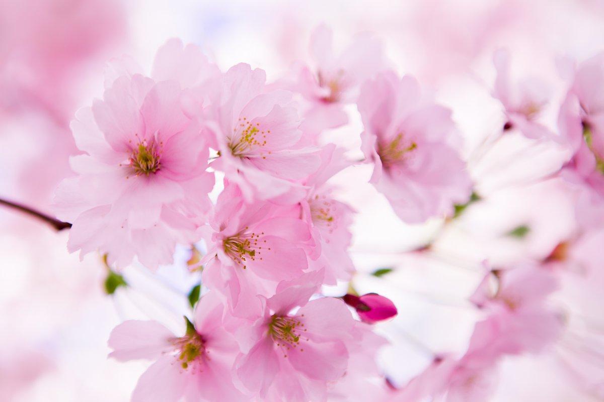 Постер Весна Японская Вишня в цветуВесна<br>Постер на холсте или бумаге. Любого нужного вам размера. В раме или без. Подвес в комплекте. Трехслойная надежная упаковка. Доставим в любую точку России. Вам осталось только повесить картину на стену!<br>