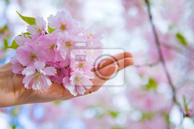 Постер Сакура Рука с японской вишни, цветы цветутСакура<br>Постер на холсте или бумаге. Любого нужного вам размера. В раме или без. Подвес в комплекте. Трехслойная надежная упаковка. Доставим в любую точку России. Вам осталось только повесить картину на стену!<br>