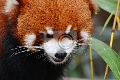 Постер Животные Огонь лисица или красная панда (Ailurus fulgens) в зоопарке, 30x20 см, на бумагеПанда<br>Постер на холсте или бумаге. Любого нужного вам размера. В раме или без. Подвес в комплекте. Трехслойная надежная упаковка. Доставим в любую точку России. Вам осталось только повесить картину на стену!<br>