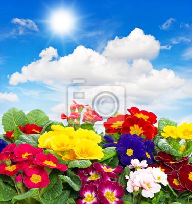 Постер Примула Primula цветы на голубом фоне небаПримула<br>Постер на холсте или бумаге. Любого нужного вам размера. В раме или без. Подвес в комплекте. Трехслойная надежная упаковка. Доставим в любую точку России. Вам осталось только повесить картину на стену!<br>