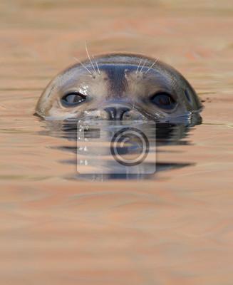 Постер Тюлени и морские котики Общее уплотнение плаваниеТюлени и морские котики<br>Постер на холсте или бумаге. Любого нужного вам размера. В раме или без. Подвес в комплекте. Трехслойная надежная упаковка. Доставим в любую точку России. Вам осталось только повесить картину на стену!<br>
