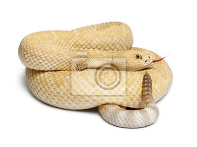 Постер Рептилии Альбиносы Западной капустной гремучей змеей - Crotalus atroxРептилии<br>Постер на холсте или бумаге. Любого нужного вам размера. В раме или без. Подвес в комплекте. Трехслойная надежная упаковка. Доставим в любую точку России. Вам осталось только повесить картину на стену!<br>
