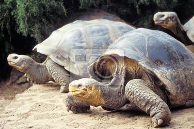Постер Черепахи Гигантские черепахи, Галапагосские острова, ЭквадорЧерепахи<br>Постер на холсте или бумаге. Любого нужного вам размера. В раме или без. Подвес в комплекте. Трехслойная надежная упаковка. Доставим в любую точку России. Вам осталось только повесить картину на стену!<br>