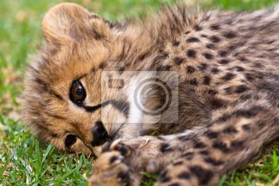 Постер Леопарды Молодой леопард ребенкаЛеопарды<br>Постер на холсте или бумаге. Любого нужного вам размера. В раме или без. Подвес в комплекте. Трехслойная надежная упаковка. Доставим в любую точку России. Вам осталось только повесить картину на стену!<br>