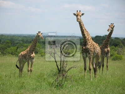 Постер Животные Girafes, 27x20 см, на бумагеЖирафы<br>Постер на холсте или бумаге. Любого нужного вам размера. В раме или без. Подвес в комплекте. Трехслойная надежная упаковка. Доставим в любую точку России. Вам осталось только повесить картину на стену!<br>