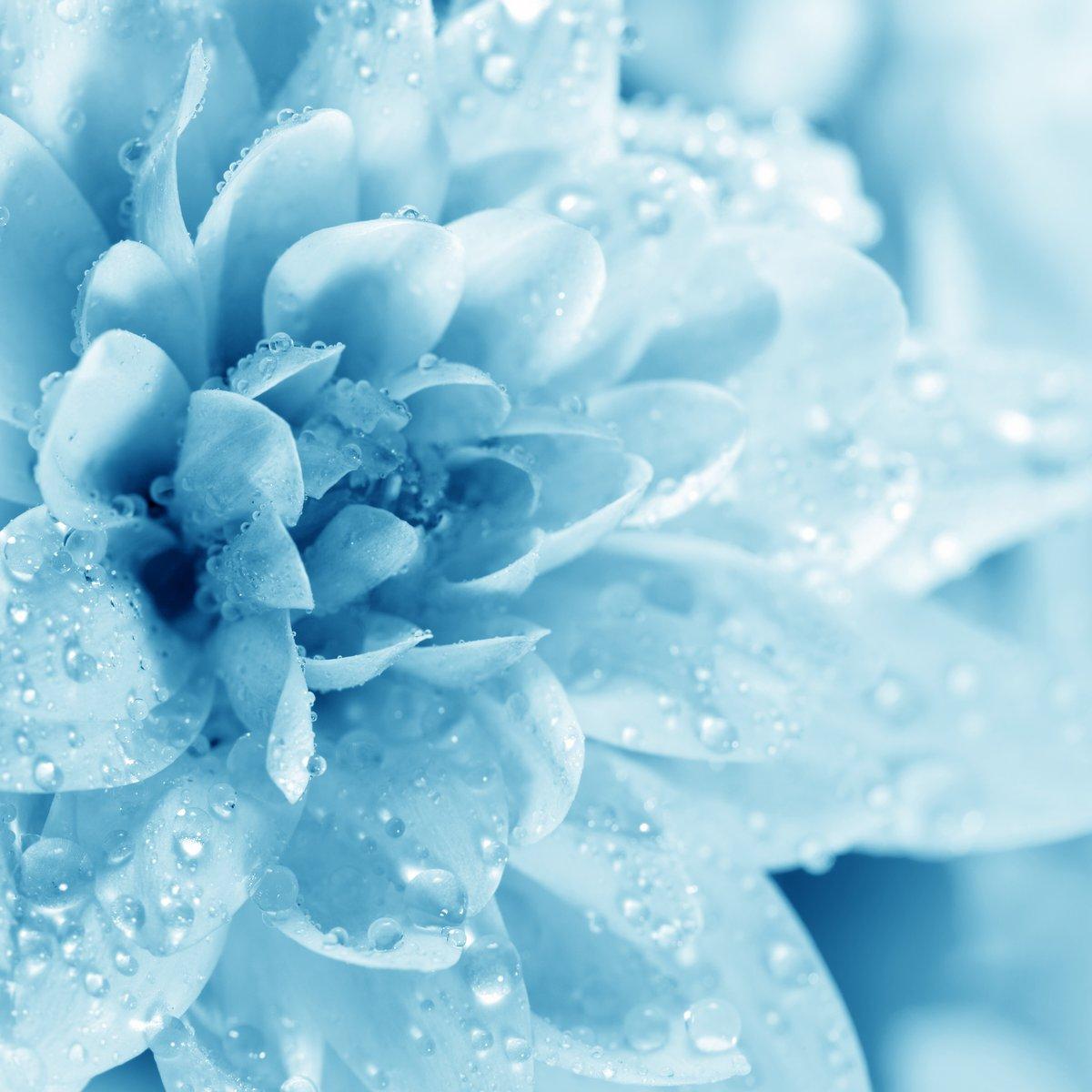 Постер Хризантемы Красивые синие цветы с каплямиХризантемы<br>Постер на холсте или бумаге. Любого нужного вам размера. В раме или без. Подвес в комплекте. Трехслойная надежная упаковка. Доставим в любую точку России. Вам осталось только повесить картину на стену!<br>