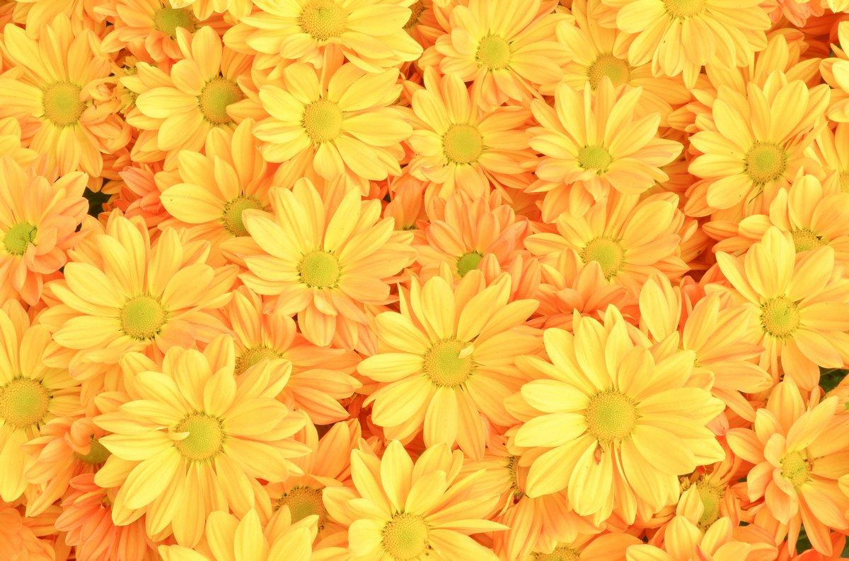 Постер Хризантемы Желтые цветы Хризантемы фонаХризантемы<br>Постер на холсте или бумаге. Любого нужного вам размера. В раме или без. Подвес в комплекте. Трехслойная надежная упаковка. Доставим в любую точку России. Вам осталось только повесить картину на стену!<br>