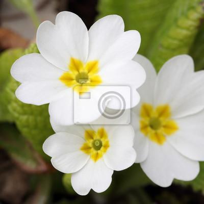 Постер Примула Primula vulgarisПримула<br>Постер на холсте или бумаге. Любого нужного вам размера. В раме или без. Подвес в комплекте. Трехслойная надежная упаковка. Доставим в любую точку России. Вам осталось только повесить картину на стену!<br>