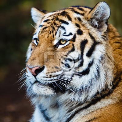 Постер Россия Крупным планом-Сибирский тигр, также известный как Амурский тигр (Panthera tiРоссия<br>Постер на холсте или бумаге. Любого нужного вам размера. В раме или без. Подвес в комплекте. Трехслойная надежная упаковка. Доставим в любую точку России. Вам осталось только повесить картину на стену!<br>