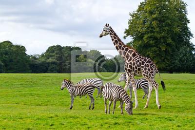 Зебры и жирафы в парк дикой природы, 30x20 см, на бумагеЗебры<br>Постер на холсте или бумаге. Любого нужного вам размера. В раме или без. Подвес в комплекте. Трехслойная надежная упаковка. Доставим в любую точку России. Вам осталось только повесить картину на стену!<br>