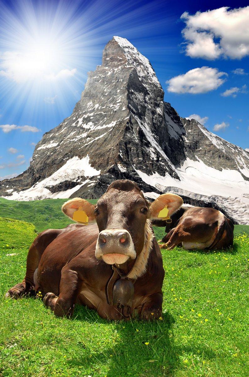 Постер Альпийский пейзаж Корова лежала в meadow.In фоне Маттерхорн-швейцарских АльпахАльпийский пейзаж<br>Постер на холсте или бумаге. Любого нужного вам размера. В раме или без. Подвес в комплекте. Трехслойная надежная упаковка. Доставим в любую точку России. Вам осталось только повесить картину на стену!<br>