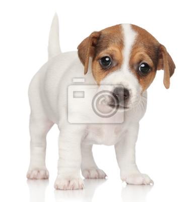 Постер Собаки Джек Рассел терьер щенки (1 месяц)Собаки<br>Постер на холсте или бумаге. Любого нужного вам размера. В раме или без. Подвес в комплекте. Трехслойная надежная упаковка. Доставим в любую точку России. Вам осталось только повесить картину на стену!<br>