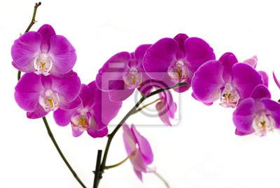 Постер Орхидеи Орхидея на белом фонеОрхидеи<br>Постер на холсте или бумаге. Любого нужного вам размера. В раме или без. Подвес в комплекте. Трехслойная надежная упаковка. Доставим в любую точку России. Вам осталось только повесить картину на стену!<br>