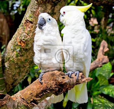 Постер Попугаи Белый Попугай-Какаду в природное ОкружениеПопугаи<br>Постер на холсте или бумаге. Любого нужного вам размера. В раме или без. Подвес в комплекте. Трехслойная надежная упаковка. Доставим в любую точку России. Вам осталось только повесить картину на стену!<br>