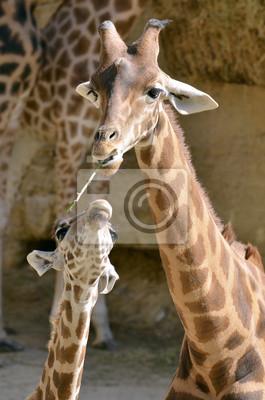 Жираф (Giraffa camelopardalis) с ее ребенком, 20x30 см, на бумагеЖирафы<br>Постер на холсте или бумаге. Любого нужного вам размера. В раме или без. Подвес в комплекте. Трехслойная надежная упаковка. Доставим в любую точку России. Вам осталось только повесить картину на стену!<br>