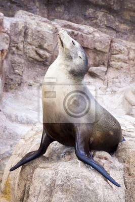 Постер Тюлени и морские котики