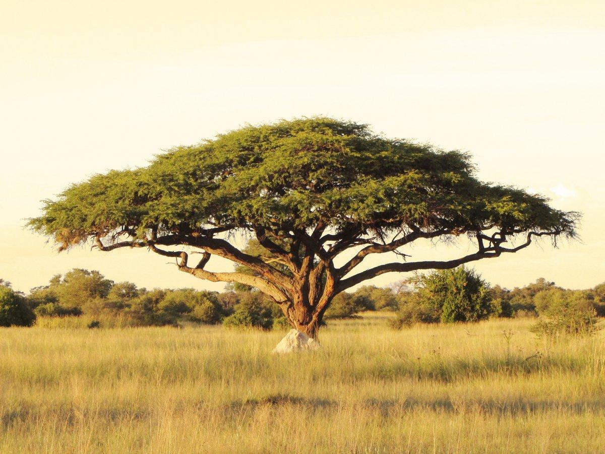 Постер Африканский пейзаж АкацииАфриканский пейзаж<br>Постер на холсте или бумаге. Любого нужного вам размера. В раме или без. Подвес в комплекте. Трехслойная надежная упаковка. Доставим в любую точку России. Вам осталось только повесить картину на стену!<br>