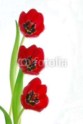 Постер Тюльпаны Красные тюльпаныТюльпаны<br>Постер на холсте или бумаге. Любого нужного вам размера. В раме или без. Подвес в комплекте. Трехслойная надежная упаковка. Доставим в любую точку России. Вам осталось только повесить картину на стену!<br>