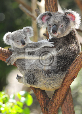 Постер Австралия Австралийский коала с ее ребенком, Сидней, Австралия серый медведьАвстралия<br>Постер на холсте или бумаге. Любого нужного вам размера. В раме или без. Подвес в комплекте. Трехслойная надежная упаковка. Доставим в любую точку России. Вам осталось только повесить картину на стену!<br>
