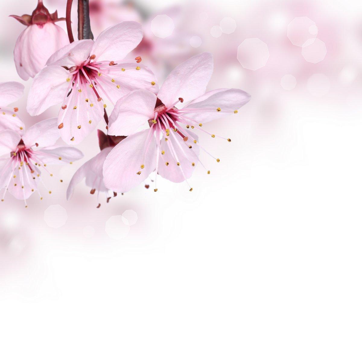 Постер Сакура Розовая весна цветок дизайн границы, фонаСакура<br>Постер на холсте или бумаге. Любого нужного вам размера. В раме или без. Подвес в комплекте. Трехслойная надежная упаковка. Доставим в любую точку России. Вам осталось только повесить картину на стену!<br>