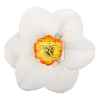 Постер Нарциссы Один цветок с бледно-желтого сорта на белом фонеНарциссы<br>Постер на холсте или бумаге. Любого нужного вам размера. В раме или без. Подвес в комплекте. Трехслойная надежная упаковка. Доставим в любую точку России. Вам осталось только повесить картину на стену!<br>