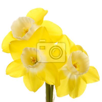Постер Нарциссы Три желтые и белые jonquil цветы на белом backgrounНарциссы<br>Постер на холсте или бумаге. Любого нужного вам размера. В раме или без. Подвес в комплекте. Трехслойная надежная упаковка. Доставим в любую точку России. Вам осталось только повесить картину на стену!<br>