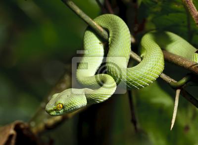 Постер Рептилии Зеленая змея в дождевой лесРептилии<br>Постер на холсте или бумаге. Любого нужного вам размера. В раме или без. Подвес в комплекте. Трехслойная надежная упаковка. Доставим в любую точку России. Вам осталось только повесить картину на стену!<br>
