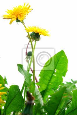 Постер Одуванчики Изолированные SpringflowersОдуванчики<br>Постер на холсте или бумаге. Любого нужного вам размера. В раме или без. Подвес в комплекте. Трехслойная надежная упаковка. Доставим в любую точку России. Вам осталось только повесить картину на стену!<br>