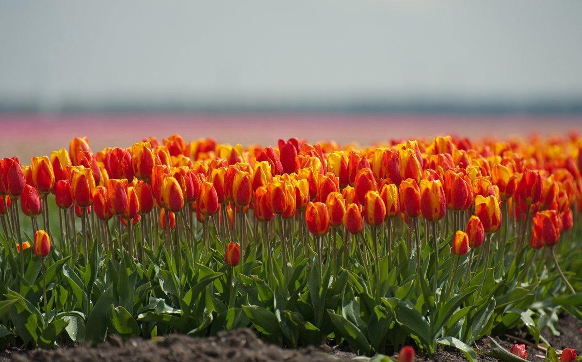 Постер Тюльпаны Выращивание цветочных луковиц веснойТюльпаны<br>Постер на холсте или бумаге. Любого нужного вам размера. В раме или без. Подвес в комплекте. Трехслойная надежная упаковка. Доставим в любую точку России. Вам осталось только повесить картину на стену!<br>