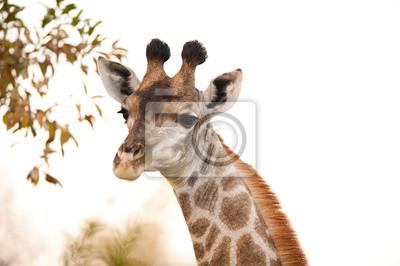 Постер Животные ЖИРАФ (Giraffa camelopardalis) вблизи, 30x20 см, на бумагеЖирафы<br>Постер на холсте или бумаге. Любого нужного вам размера. В раме или без. Подвес в комплекте. Трехслойная надежная упаковка. Доставим в любую точку России. Вам осталось только повесить картину на стену!<br>