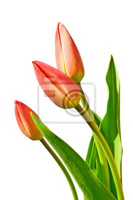 Постер Тюльпаны Цветок тюльпанаТюльпаны<br>Постер на холсте или бумаге. Любого нужного вам размера. В раме или без. Подвес в комплекте. Трехслойная надежная упаковка. Доставим в любую точку России. Вам осталось только повесить картину на стену!<br>