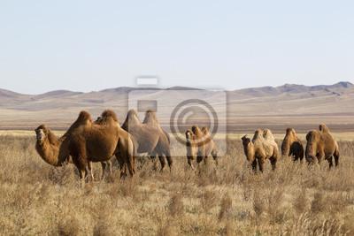 Постер Монголия Бактрийских верблюдов в монгольской степи, Центральная МонголияМонголия<br>Постер на холсте или бумаге. Любого нужного вам размера. В раме или без. Подвес в комплекте. Трехслойная надежная упаковка. Доставим в любую точку России. Вам осталось только повесить картину на стену!<br>