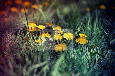 Постер Одуванчики Желтых одуванчиков в траве в волшебный свет, весна цветыОдуванчики<br>Постер на холсте или бумаге. Любого нужного вам размера. В раме или без. Подвес в комплекте. Трехслойная надежная упаковка. Доставим в любую точку России. Вам осталось только повесить картину на стену!<br>