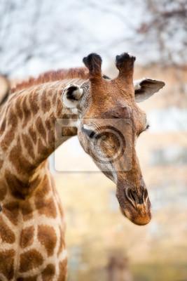 Африканский жираф, 20x30 см, на бумагеЖирафы<br>Постер на холсте или бумаге. Любого нужного вам размера. В раме или без. Подвес в комплекте. Трехслойная надежная упаковка. Доставим в любую точку России. Вам осталось только повесить картину на стену!<br>