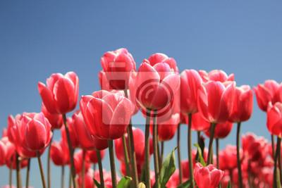 Постер Тюльпаны Розовые тюльпаны на солнцеТюльпаны<br>Постер на холсте или бумаге. Любого нужного вам размера. В раме или без. Подвес в комплекте. Трехслойная надежная упаковка. Доставим в любую точку России. Вам осталось только повесить картину на стену!<br>