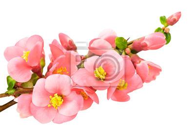 Постер Сакура Нежные розовые цветы, изолированных на белом фонеСакура<br>Постер на холсте или бумаге. Любого нужного вам размера. В раме или без. Подвес в комплекте. Трехслойная надежная упаковка. Доставим в любую точку России. Вам осталось только повесить картину на стену!<br>