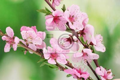 Постер Сакура Красивый розовый персик цветок на зеленом фонеСакура<br>Постер на холсте или бумаге. Любого нужного вам размера. В раме или без. Подвес в комплекте. Трехслойная надежная упаковка. Доставим в любую точку России. Вам осталось только повесить картину на стену!<br>