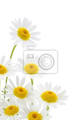 Постер Ромашки Ромашки цветок на белом фонеРомашки<br>Постер на холсте или бумаге. Любого нужного вам размера. В раме или без. Подвес в комплекте. Трехслойная надежная упаковка. Доставим в любую точку России. Вам осталось только повесить картину на стену!<br>