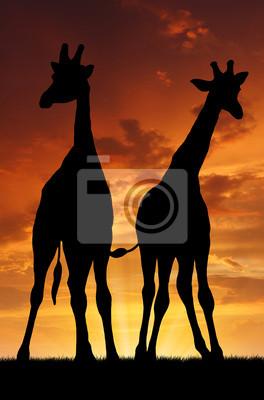 Два жирафа в закат, 20x30 см, на бумагеЖирафы<br>Постер на холсте или бумаге. Любого нужного вам размера. В раме или без. Подвес в комплекте. Трехслойная надежная упаковка. Доставим в любую точку России. Вам осталось только повесить картину на стену!<br>